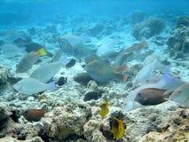 Czerwony dennej ryba motyl Fotografia Royalty Free
