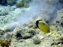 Czerwony dennej ryba motyl obraz stock