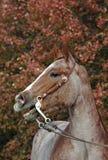czerwony deresz koń. Zdjęcia Royalty Free