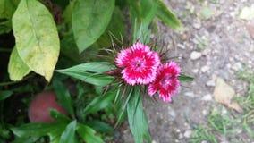 Czerwony Dianthus barbatus - lato ogródu kwiaty Obraz Stock