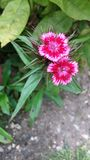 Czerwony Dianthus barbatus - lato ogródu kwiaty Obrazy Stock