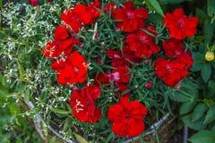Czerwony dianthus kwiat Zdjęcia Stock