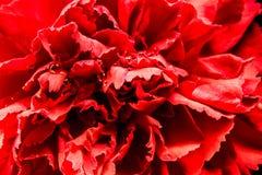 Czerwony dianthus z kroplami jest makro- obrazy royalty free