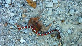 Czerwony Dojny wąż w Illinois zdjęcie wideo