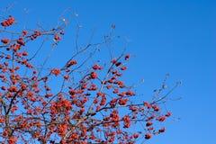 czerwony dojrzały rowan Fotografia Royalty Free