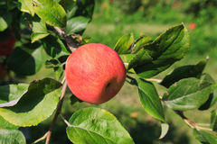 Czerwony Dojrzały Apple w drzewie Zdjęcia Royalty Free