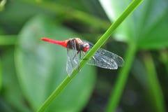 Czerwony dragonfly Zdjęcia Stock