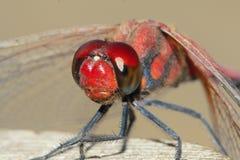 Czerwony dragonfly Fotografia Royalty Free