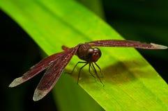 Czerwony dragonfly Zdjęcia Royalty Free