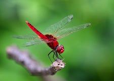 Czerwony Dragonfly Fotografia Stock