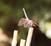 Czerwony dragonfly obrazy royalty free