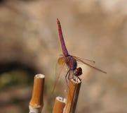 Czerwony dragonfly obraz stock