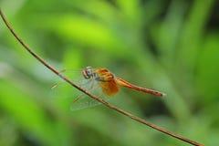 Czerwony dragonfly Obrazy Stock