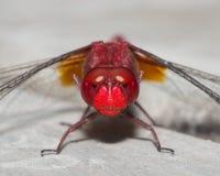 Czerwony dragonfly - Gniewna twarz Zdjęcia Stock