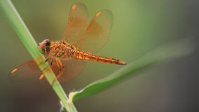 Czerwony dragonfly makro- Zdjęcie Stock