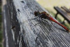 Czerwony dragonfly na drewnianej powierzchni Zdjęcia Royalty Free