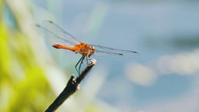 Czerwony Dragonfly na gałąź zbiory wideo