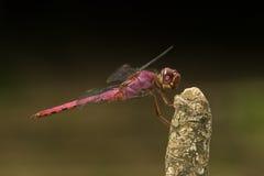 Czerwony dragonfly na kiju Fotografia Royalty Free