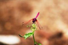 Czerwony dragonfly na małej gałąź obrazy stock