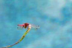 Czerwony dragonfly nad błękitnym tłem Obrazy Stock
