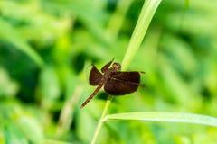 Czerwony dragonfly na trawie Zdjęcia Stock