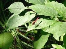 Czerwony dragonfly na zielonym liściu fotografia stock