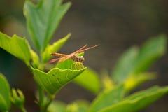 Czerwony dragonfly Zdjęcie Royalty Free