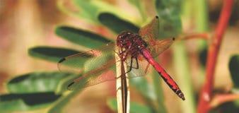 Czerwony Dragonfly obsiadanie na płosze Fotografia Royalty Free
