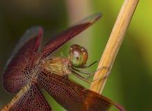 Czerwony dragonfly na gałąź Obraz Royalty Free