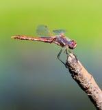 Czerwony Dragonfly Odpoczywa na kiju Fotografia Royalty Free