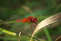Czerwony dragonfly podczas lata, Sympetrum fonscolombii/ Zdjęcia Stock