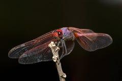 Czerwony dragonfly przeciw czarnemu tłu Obraz Stock
