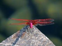 Czerwony dragonfly przy odpoczynkiem w lecie Obrazy Royalty Free