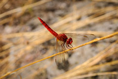 Czerwony dragonfly przy pracować Fotografia Stock