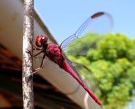 Czerwony dragonfly relaksuje na drucie Fotografia Royalty Free