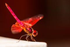 Czerwony Dragonfly siedzi na białym kamieniu obraz stock