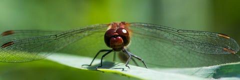 Czerwony dragonfly, Sympetrum fonscolombii/ obrazy stock