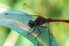 Czerwony dragonfly, Sympetrum fonscolombii/ obrazy royalty free