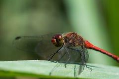 Czerwony dragonfly, Sympetrum fonscolombii/ fotografia stock