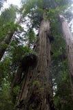 Czerwony drewniany las Zdjęcie Royalty Free