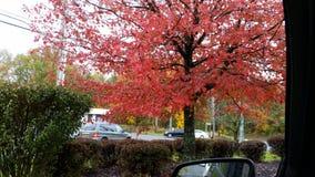 czerwony drzewo Obraz Stock