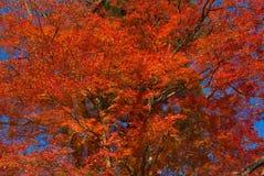czerwony drzewo Fotografia Stock