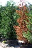 czerwony drzewo Fotografia Royalty Free