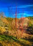 Czerwony drzewo i niebieskie niebo Obrazy Royalty Free