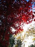 Czerwony drzewo z światłem słonecznym zdjęcia stock