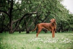 Czerwony duży Rhodesian ridgeback chodzi outdoors przy parkiem obrazy stock
