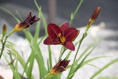 Czerwony dzień Lillies zdjęcie royalty free