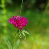 Czerwony dziki kwiat Obraz Stock