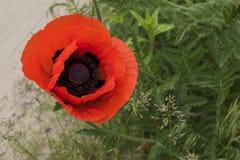 Czerwony dziki maczek & x28; Papaver rhoeas& x29; zbliżenie Fotografia Royalty Free