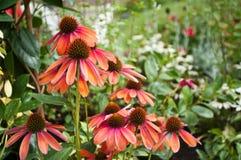 Czerwony echinacea Zdjęcia Royalty Free